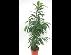 Ficus alii m27 150cm