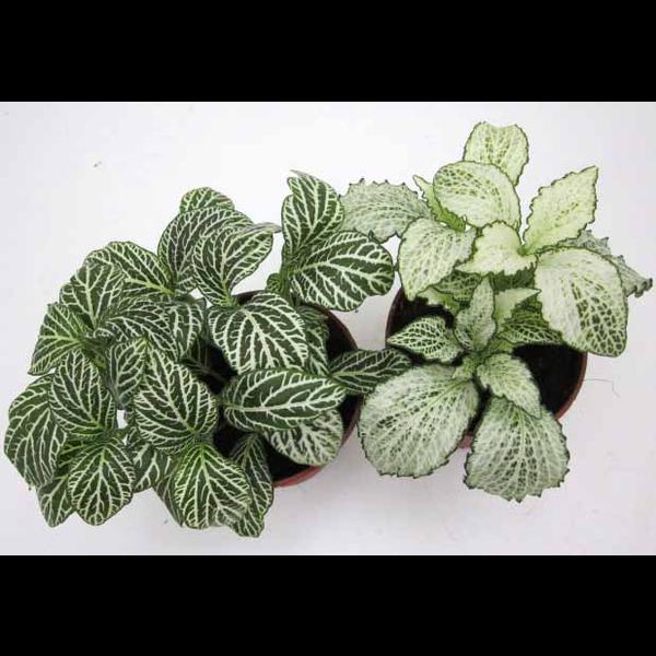 Fitonia verde 9