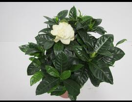 Gardenia m13