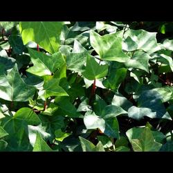 Hedera helix verde 10