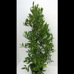 Laurus nobilis arbustivo 60/70 m18