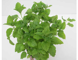 Melisa officinalis m11
