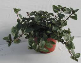 Menta chocolate (pipperita citrata) m11