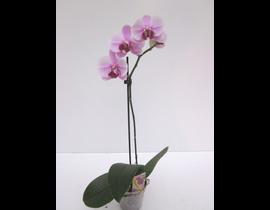 Phalaenopsis 1 rama m12
