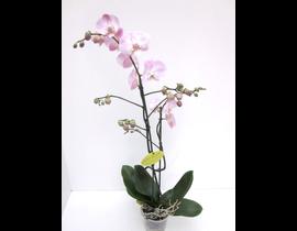 Phalaenopsis 2 ramas