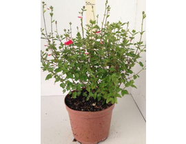 Salvia mix flor 2lt
