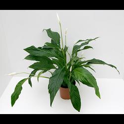 Spathiphyllum 13