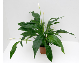 Spathiphyllum 17