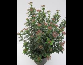Viburnum tinus 3lt 40cm   ES/09/250008