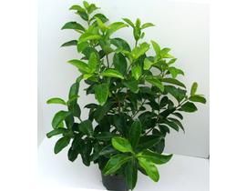 Viburnum lucidum 3lt ES/09/250008