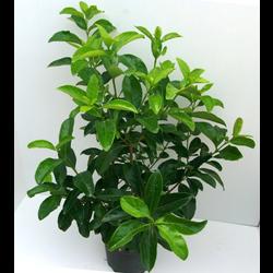 Viburnum lucidum 10lt ES/09/250008