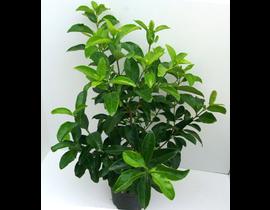 Viburnum lucidum m40 150cm ES/09/8250008
