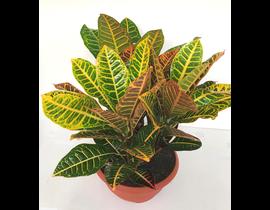 Croton norma petra grupo tarrina 6lt 3plantas