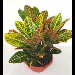 Croton norma petra grupo tarrina 30
