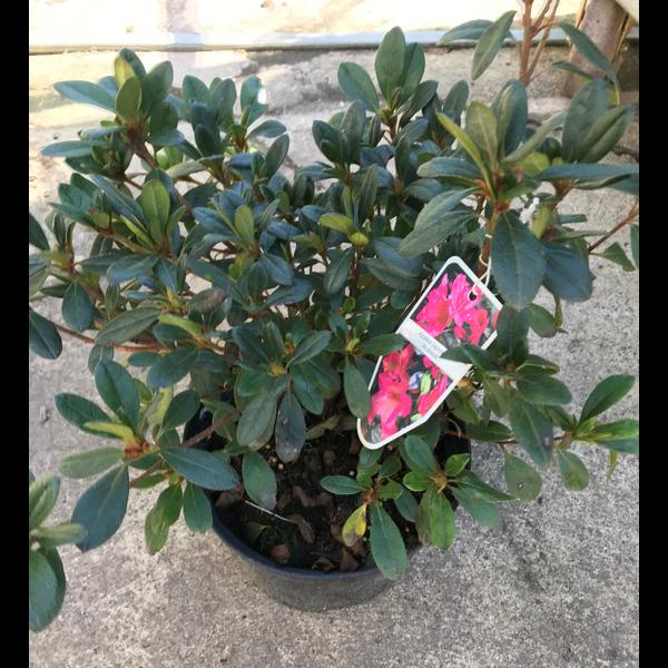 Azalea japonica 25/30  17